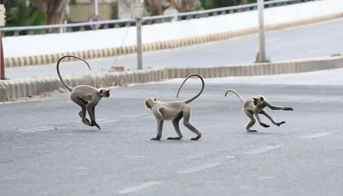 Apinat innostuivat mellakoimaan turistien puutteen johdosta